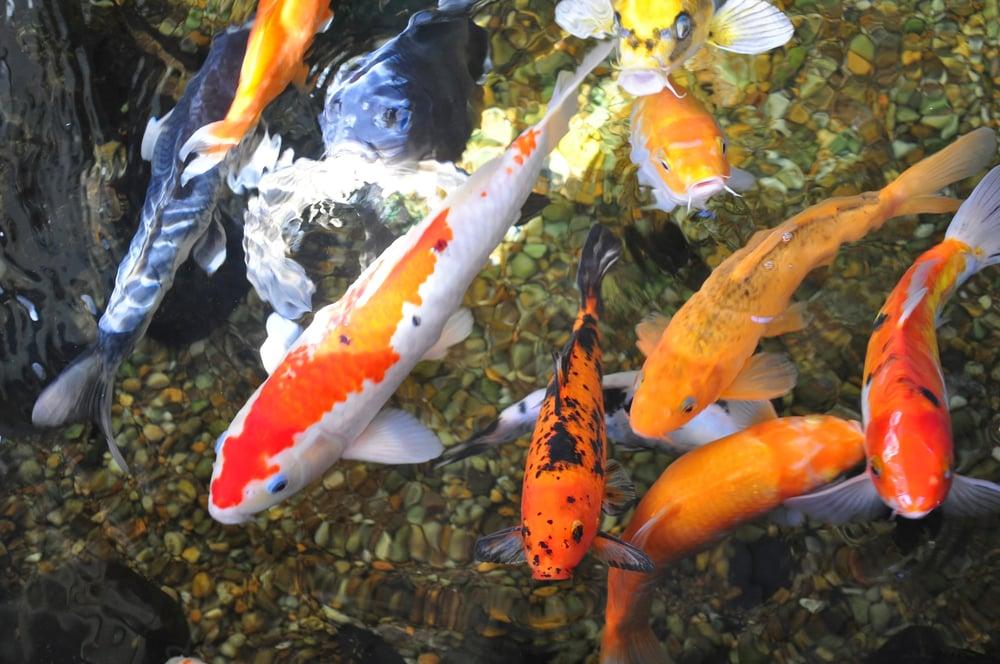 poisson pour bassin extérieur