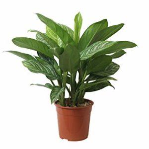 Botanicly Aglaonème Hauteur 70 Cm