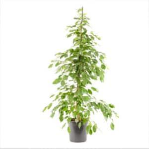 Ficus Benjamina Exotica Ø24